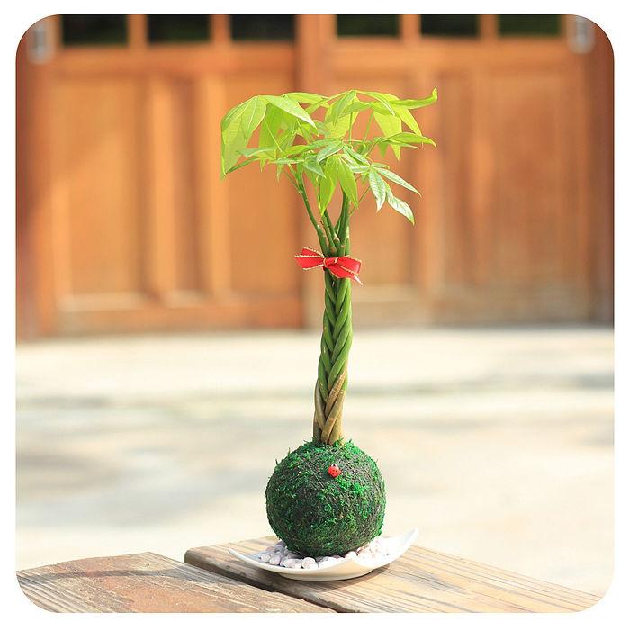 《童趣植栽》【Light+Bio】開運綠苔玉-開金運發財樹