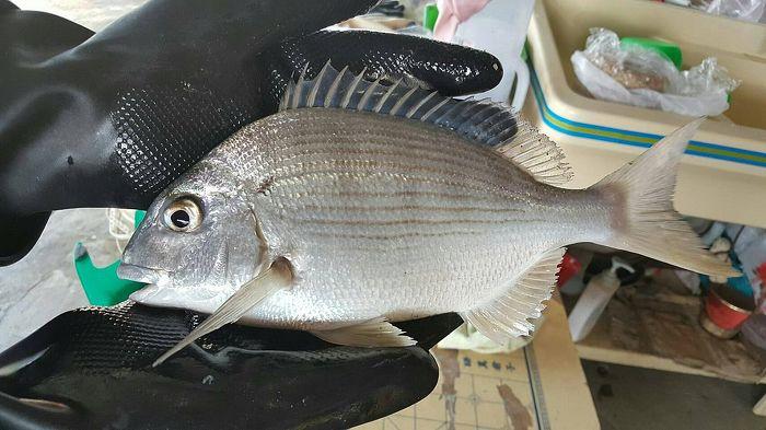 台灣優質黃錫鯛(250-300g/包)